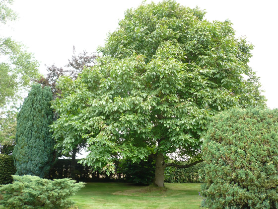 crown reduction on mature walnut tree 1