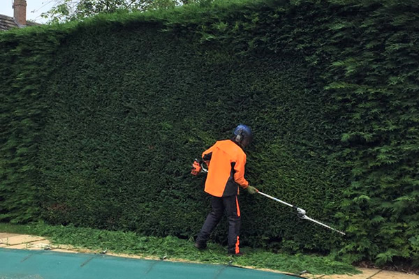 hedge shrub care